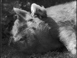 A Sleeping Old Sow and Her Wee Piglet, Perched on Her Neck! Photographic Print