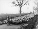 Suffolk Shepherd Photographic Print