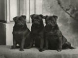 A Group of Three Banchory Pugs Sitting in a Row. Owner: Lorna, Countess Howe Photographic Print
