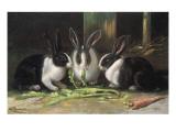 Three Black and White Dutch Domestic Rabbits Giclee Print