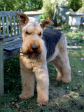 An Airedale Terrier in a Garden in Surrey Photographic Print by Vanessa Wagstaff