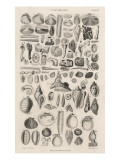 Variety of Sea Shells Giclee Print