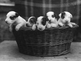 A Basket of Mischief! a Fine Litter of Wire-Haired Fox Terrier Puppies Photographic Print