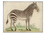 Zebra Giclee Print