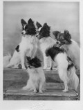 A Group of Four Papillons Owned by Mrs Pope Photographic Print