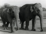 Two Indian Elephants Photographic Print