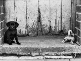 Two Little Puppies by a Back Yard Gate - Salford 1964 Photographic Print by Shirley Baker