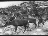 A Herd of Lapland Reindeer Photographic Print