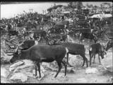 A Herd of Lapland Reindeer Photographic Print
