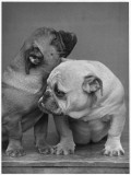 Two Bulldog Puppies Cuddle Up Together Photographic Print