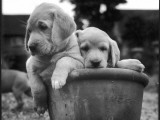 Two Labrador Puppies in a Flowerpot Photographic Print by Henry Grant