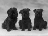 Three Very Cute Black Puppies Sitting in a Row. 'Vulcan' Kennel Name. Owner:Hon, Mrs Ionides Photographic Print