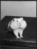 A Hamster with its Pouches Stuffed with Food Photographic Print
