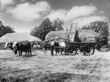 Working Oxen on Farm Photographic Print