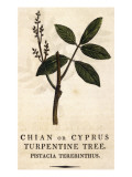 Turpentine Tree, or Mastic Tree, or Lentisc Giclee Print