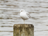 A Seagull Rests One of its Legs, Boston Harbour Photographic Print