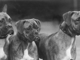 The Heads of Three Boxers Belonging to Mrs Sprigge Photographic Print