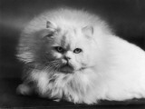 A Close-Up Facial Portrait of a Fluffy White Persian Cat Photographic Print