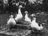 A Study of Four Geese around a Bird Bath Photographic Print
