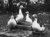 A Study of Four Geese around a Bird Bath Photographic Print
