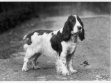Crufts 1938, 1939 Photographic Print