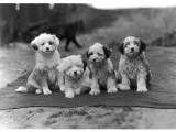 Four Tibetan Terrier Puppies Sitting in a Row. Owner: Greig Photographic Print