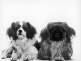 A King Charles Spaniel (Left) and a Pekingese (Right) Photographic Print
