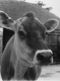 Close-Up of a Cow's Head, Probably of the Jersey Breed Photographic Print by Henry Grant