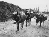 Donkeys in World War I Photographic Print by Robert Hunt