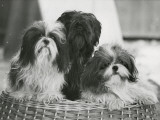 Sing Tzu of Shebo, Shebo Schunde of Hing-Joa and Shebo Tsemo of Lhakang. Owned by Bode Photographic Print