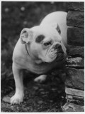 An Unnamed Bulldog Peers Suspiciously Round a Stone Wall Photographic Print