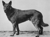 German Shepherd Beowulf Photographic Print