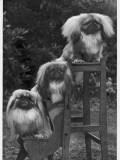 Pekingese 1953 Photographic Print