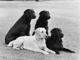Labrador Mix Group Photographic Print