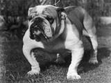 A Sturdy Bulldog on a Chain Lead Photographic Print