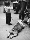 British Bulldog Flat Out at Manchester Dog Show Photographic Print by Shirley Baker