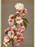 Japanese Cherry Tree Blossom and Leaves Photographic Print