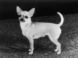 Smooth-Haired Chihuahua Molimor Talentina Photographic Print