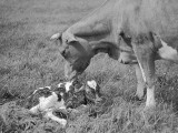 Newborn Calf Photographic Print