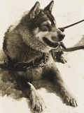 Dog from Jungfrau Railway Polar Dog Colony Photographic Print