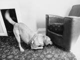 An Excited Army Sniffer Dog Sniffs under a Leather Living Room Armchair Photographic Print