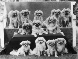 A Group of Twelve Braeduke Tibetan Spaniels Sit for a Group Photograph. Owned by Wynyard Photographic Print