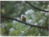 Robin in a Suburban Garden Photographic Print