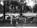 Sheep Graze in Kensington Gardens Photographic Print