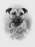 Champion Golden Boy of Essira Owner: Weller Photographic Print