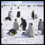 Penguins in the Snow Photographic Print