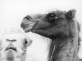 A Camel's Head Photographic Print
