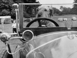 A Dog Driving a Vintage Car Photographic Print by Shirley Baker