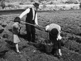 Planting Irish 'Taties' Photographic Print