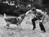 A German Shepherd Police Dog Is Trained to Attack Photographic Print
